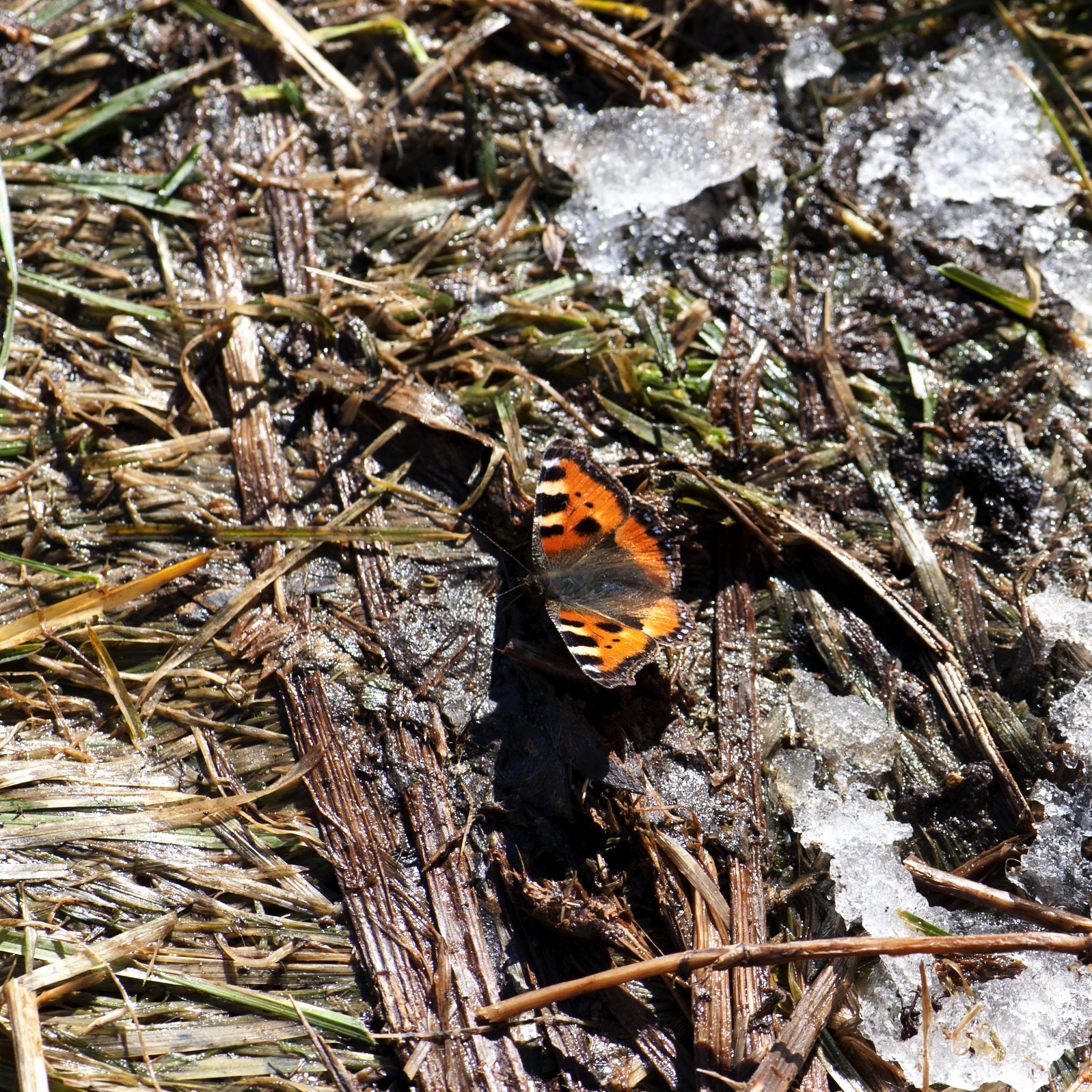 farfalla disgelo 2010 03 05
