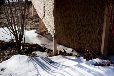 neve e ghiaccio vicino alla copertura delle rose 2011 02 26